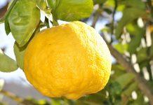 El limón; es uno de los frutos cítricos más consumidos en el mundo. Además de su consumo; tiene variados usos en la elaboración de productos cosméticos y para la salud, por ello la diversidad de beneficios que tiene en su haber, son muchos. Es uno de los frutos alcalinos más potente que existe.