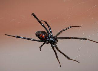 ¿Qué hacer en caso de envenenamiento por mordedura de araña?