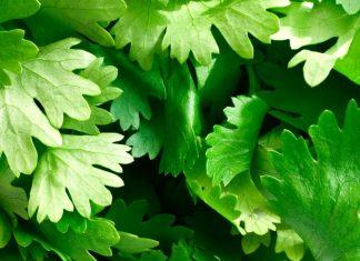 Diferencias entre el cilantro y el perejil