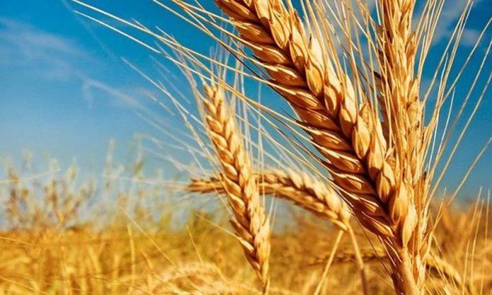 El trigo es el cereal de mayor consumo en todo el mundo