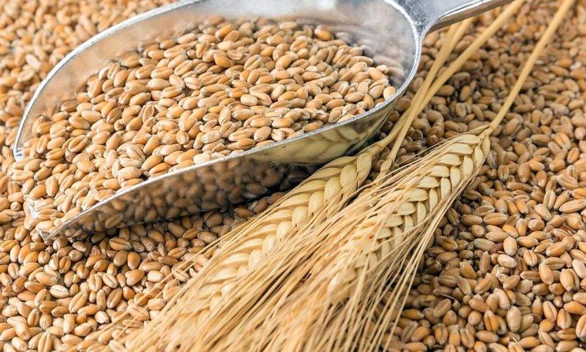 Germen de trigo es la parte más rica del grano