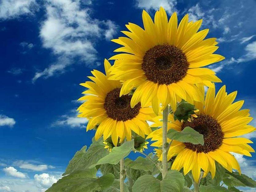 Beneficios de las semillas de girasol o Helianthus annuus