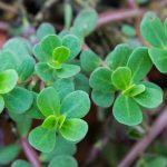 Verdolaga, una planta medicinal