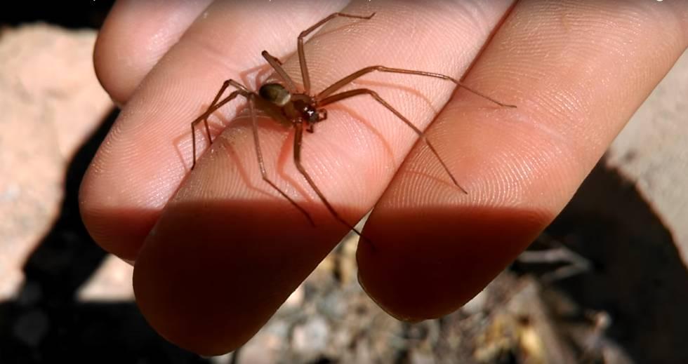picaduras de arañas